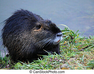 Myocastor coypus - Nutria by the river