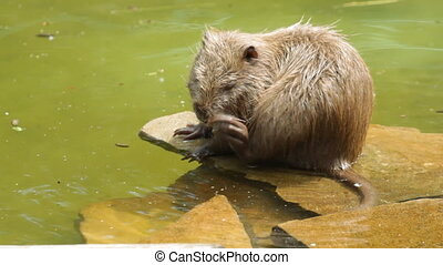 Nutria on the water - Myocastor coypus.Nutria on the water