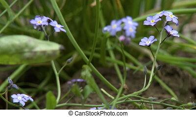 Myosotis Alpestris Flowers - Steady, low angle, close up...