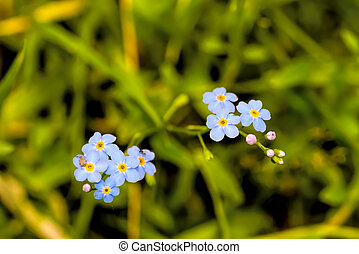 Blue Myosotis arvensis flowers are growing in the forest