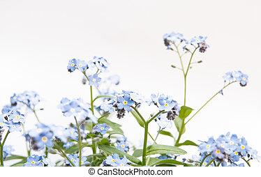 myosotis blue flowers