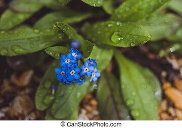 myosotis, gros plan, bleu, plante, fleurs