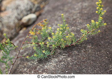 Myricaria germanica, a plant species of the tamarisk family.