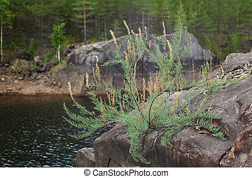 Myricaria germanica at the shore of Skellefte river in ...