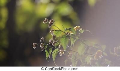 Myrobalan Flowers in Night Light Flares