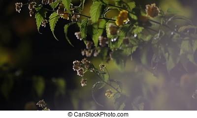 Myrobalan Flowers Light Flares Night Pan