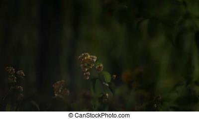Myrobalan Flowers Pan to Maple Tree Night Scene - Myrobalan...