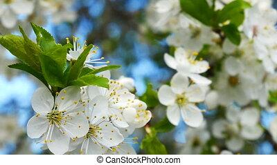 Myrobalan plum blossoming - Blossoming of Myrobalan plum or...