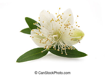 Myrtle flower  isolated on white