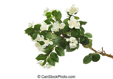 Myrtle, Myrtaceae, flowers and evergreen leaves isolated against white