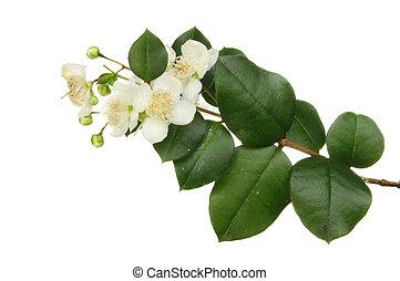Myrtle, Myrtus, flowers and foliage isolated against white