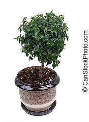 Small myrtle tree in the flowerpot