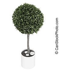 Myrtus topiary tree - Myrtus, or myrtle, topiary tree...