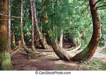 mystérieux, forêt arbre, pin