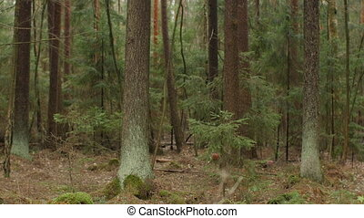 mysterious spruce forest, tree trunks covered with green ...