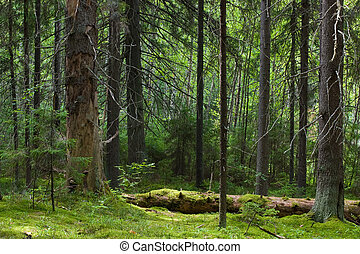 Mystery forest - Depths of the softwood forest at summer, ...