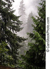 Mystic forest - Fog between trees in British Columbia