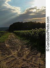 mystic sunset over vineyard