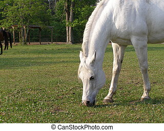 Mystical White Horse - Beautiful white horse grazing in the...