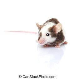 mysz, odizolowany