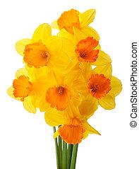 nárcisz, virág, vagy, nárcisz, csokor, elszigetelt, white,...