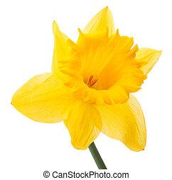 nárcisz, virág, vagy, nárcisz, elszigetelt, white, háttér,...