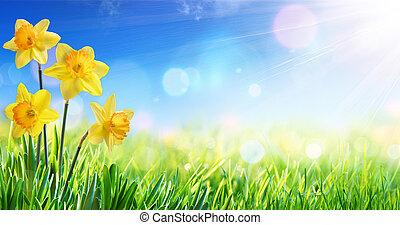 nárciszok, alatt, napos, mező