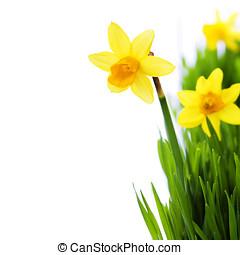 nárciszok, alatt, zöld fű