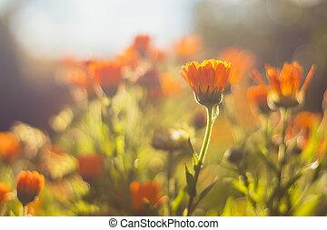 názor, květiny, -, pomeranč, zahrada, překrásný, up těký, měsíček