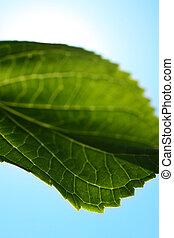 nära, hortensia, blad, uppe