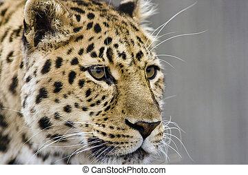 nära, leopard, uppe