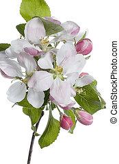 närbild, av, äpple, blomstringar