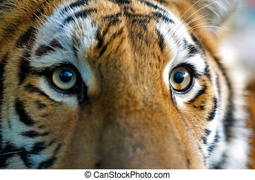 närbild, av, a, tiger