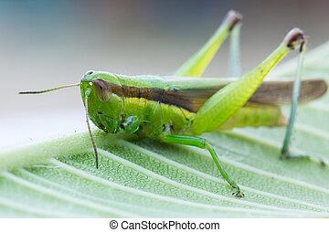 närbild, av, gräshoppa, på, den, blad
