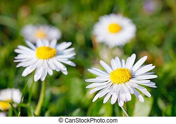 närbild, av, tusensköna, blomningen