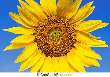 närbild, av, vacker, solros, blomma, på, blåttsky