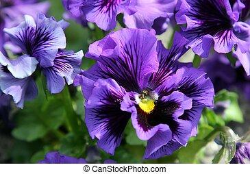närbild, av, viol blomma
