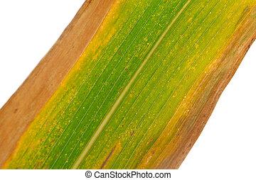 närbild, bilder, av, majs, blad