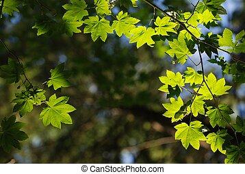närbild, blad, natur