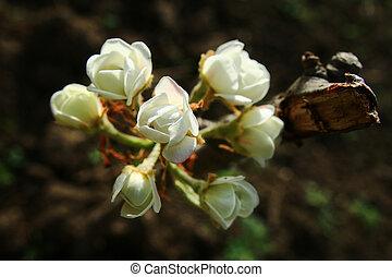 närbild, blomningen, filial