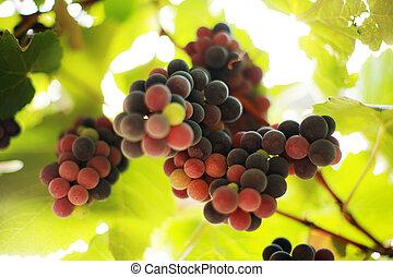 närbild, dof., vinranka, ytlig, vineyard., druvor, bukett