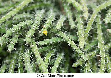 närbild, kaktus