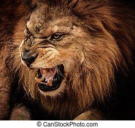 närbild, rytande, skott, lejon