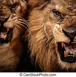 närbild, rytande, skott, två, lejon
