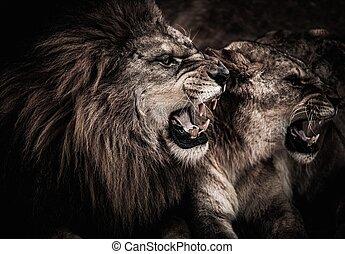 närbild, skott, av, rytande, lejon, och, lejoninna