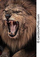 närbild, skott, av, rytande, lejon