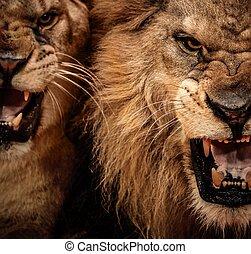 närbild, skott, av, två, rytande, lejon