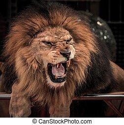 närbild, skott, av, underbar, rytande, lejon, in, cirkus, arena