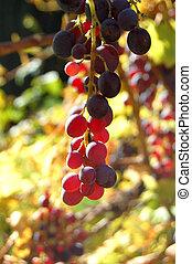 närbild, vinranka, vingård, druvor, röd, bukett