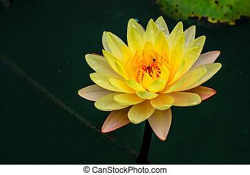 närbild, water-lilly, lotus, gul, blomning, eller